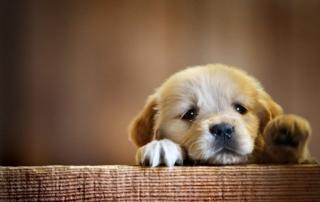 Как приучить щенка оставаться одному дома